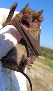 Freetail bat at Frio Cave