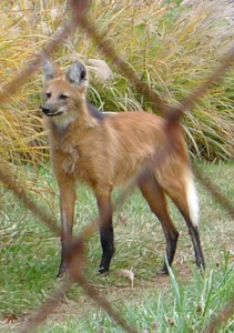 Photo: maned wolf behind a fence