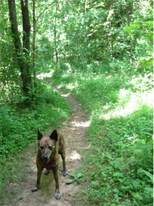 Photo: Pip the dog on a forest trail