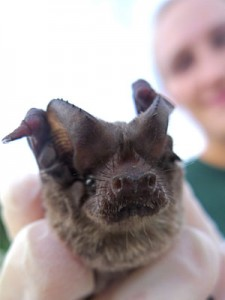 Photo: close-up of a free-tailed bat face