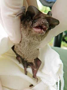 Photo: free-tailed bat held above a bag including a guano pellet