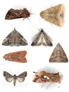 Photo: montage of various migratory noctuid moths