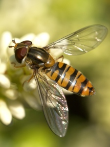 Photo: marmelade hoverfly