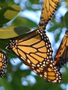 Photo: monarch butterflies