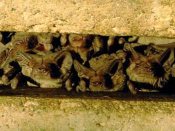 Photo: free-tailed bats clustered in a crevice under a bridge