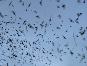 Photo: sky full of flying bats