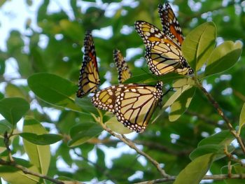 Photo: monarch butterflies gathered in a tree