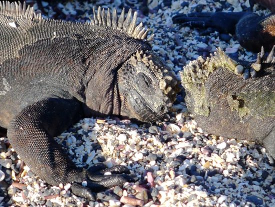 Two iguanas in the sand