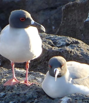A pair of swallow-tailed gulls